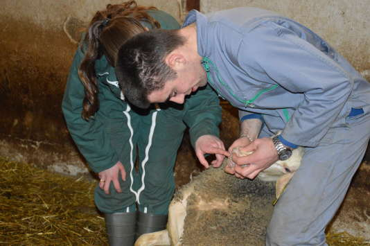 Lors de leurs BTS agricole, les étudiants du lycée Terre Nouvelle apprennent à estimer très précisément l'âge d'une brebis rien qu'en observant ses dents.