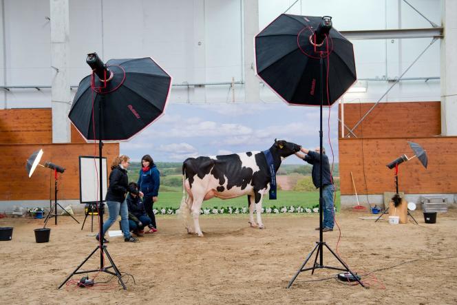 Lors d'unconcours de beauté des vaches, en février à Verden, en Allemagne.