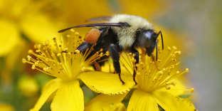 Un bourdon butinant du nectar.