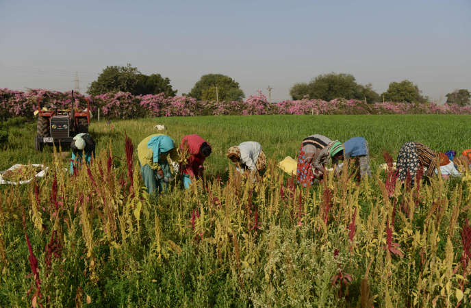 Des agriculteurs indiens, près du village de Kathwada, à quelque 30 kilomètres d'Ahmedabad, le 12 février 2016.