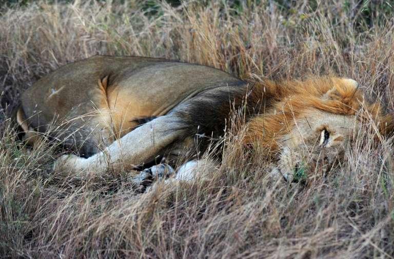 Un lion du parc Kruger, en 2010.
