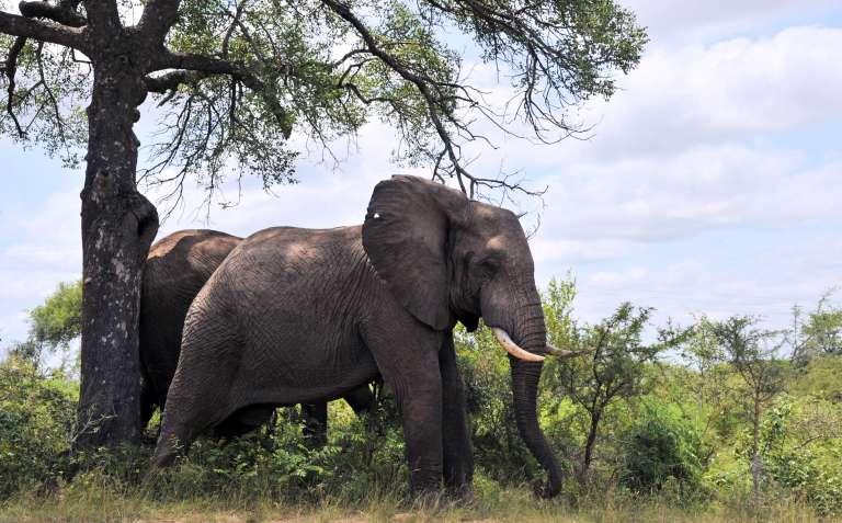 Un éléphant dans le parc Kruger en 2013.