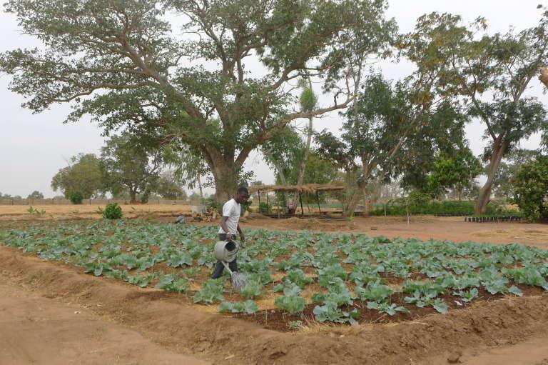Dans la ferme de Chamen, à une trentaine de kilomètres au nord de Banjul, de jeunes citadins sont formés à l'agroécologie.