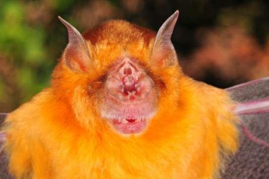 """La chauve-souris """"Rhinonicteris Aurantia"""", originaire d'Australie, fait partie des animaux moches dont les scientifiques se détournent."""