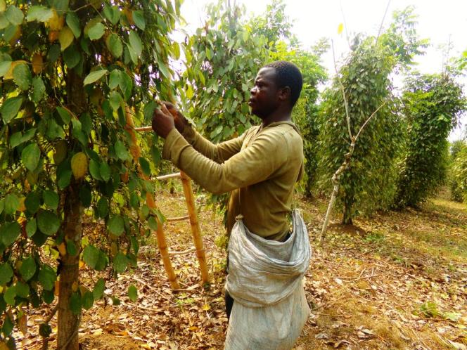 Un cultivateur récoltant le poivre de Penja.