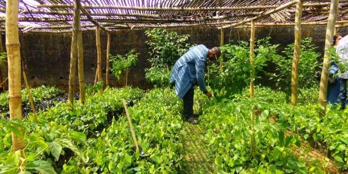 Une pépinière de poivre à Penja.