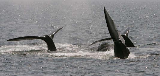Des baleines dans l'Atlantique Nord.