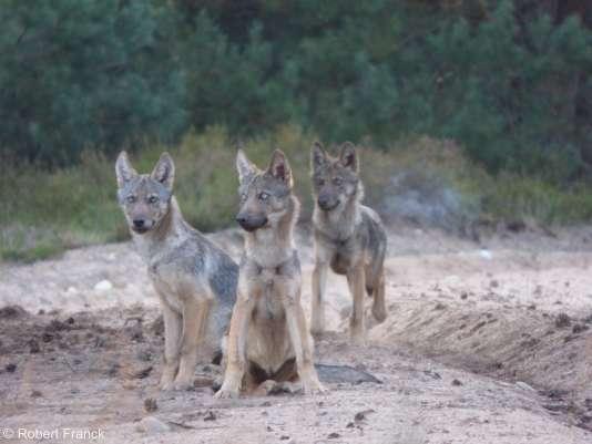 Des loups repérés à Potsdam, tout près de Berlin (Allemagne), en août 2015.