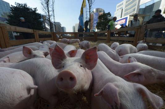Des porcs lors d'une manifestation d'éleveurs à Bruxelles en Belgique le 14 mars 2016.