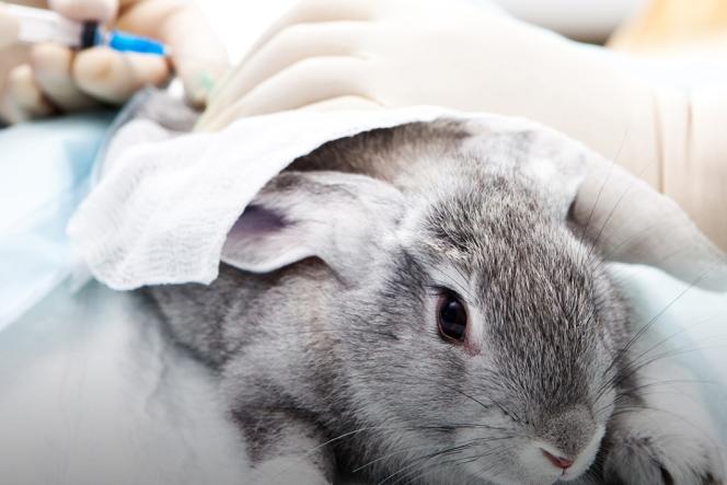 Un test de produit cosmétique pratiqué sur un lapin.
