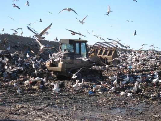 Les cigognes blanches abandonnent leur migration pour se nourrir sur des décharges à ciel ouvert.
