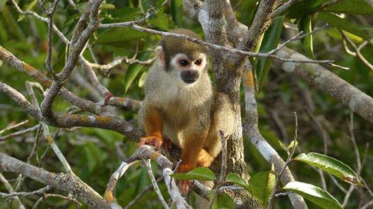 Face à un environnement devenu hostile, en Amazonie, le singe saïmiri lutte pour sa survie.