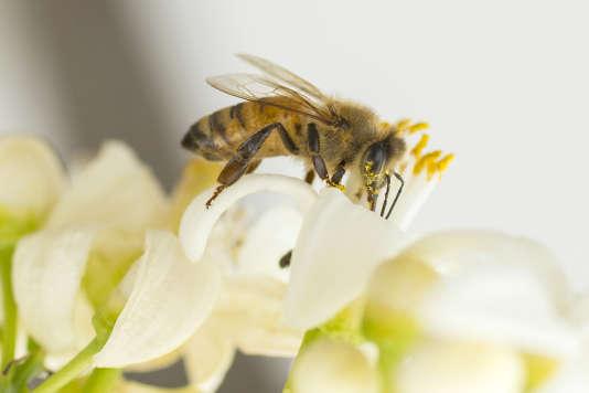 Une abeille à Netanya le 13 mars 2016.