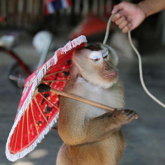 Les singes dansants sont enchaînés et déguisés pour l'amusement des touristes.