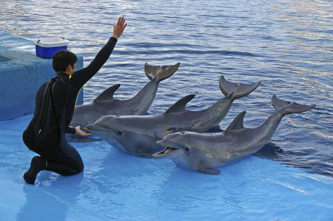 Trois dauphins en captivité, lors d'un spectacle dans un parc aquatique.