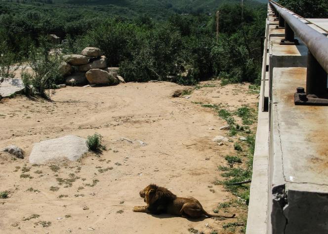 Dans certains parcs, il est possible de se promener avec les lions.