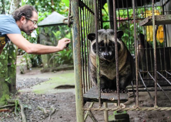 Les civettes sont utilisées dans les plantations de café, qu'il est possible de visiter et de prendre en photo.