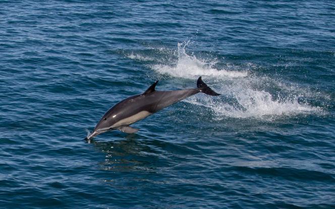 Les dauphins s'échouent régulièrement sur les côtes françaises, principalement en hiver.