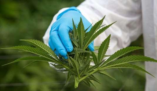 Avant de devenir premier ministre, M. Trudeau avait déclaré qu'il avait lui-même fumé «cinq ou six fois» du cannabis.