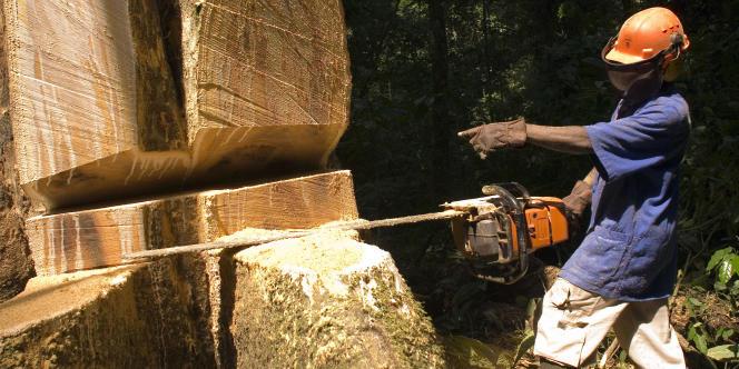 Abattage d'un arbre dans la concession La Compagnie équatoriale des bois, à 500 km à l'est de Libreville, au Gabon, en juillet 2006.