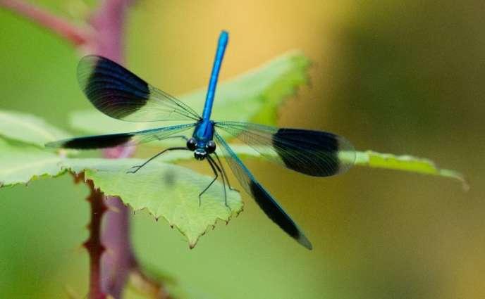 Calopterygidae, sur une feuille, dans le nord de l'Allemagne.