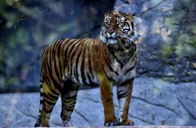 Un tigre du Bengale dans le zoo de Rome, le 31 mars 2016.