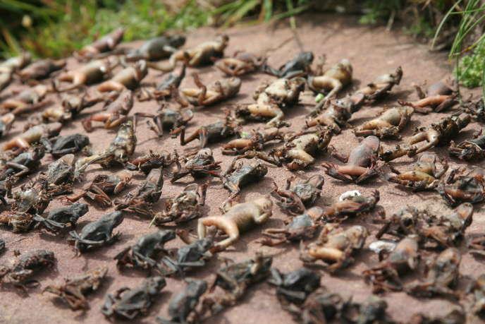 Des alytes accoucheurs décimés par le champignon Bd, dans les Pyrénées.
