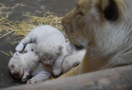 Les lionceaux blancs au zoo d'Amnéville, dans l'est de la France, le 5 avril 2016.