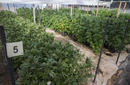 Une plantation de cannabis dans le nord de l'Israël, où la prescription de la marijuana est légale dans le cas d'un usage médical.
