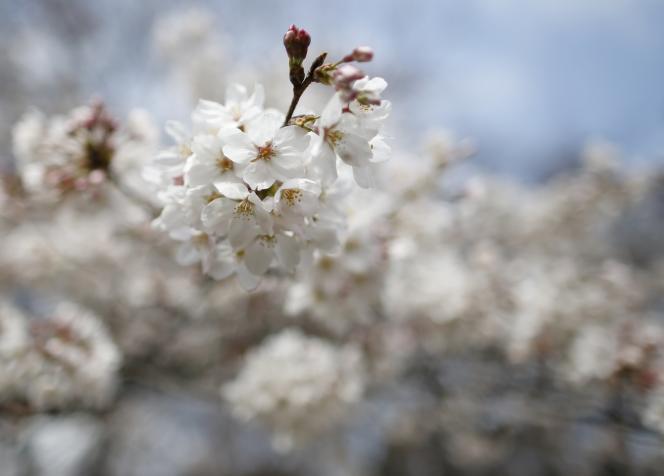La campagne de récolte des cerises doit commencer dans quelques semaines.