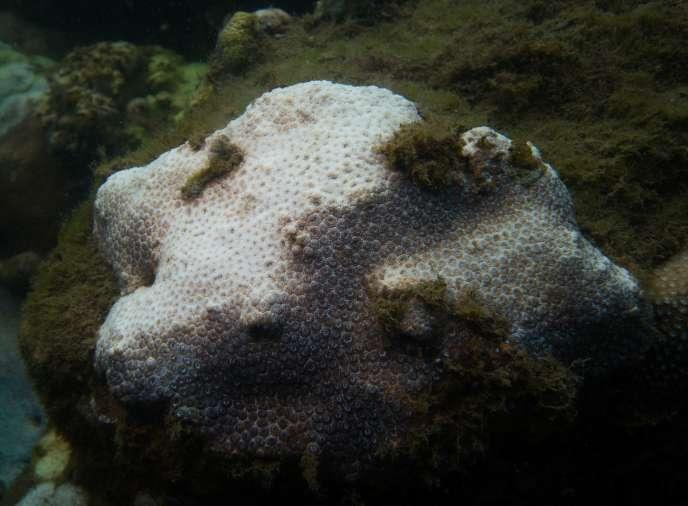 Le blanchissement, provoqué par la hausse de la température de l'eau, est un phénomène de dépérissement des coraux qui se traduit par une décoloration.