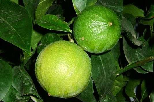 Le citron bergamote dont le zeste et le jus viendront assaisonner les fines tranches de daurade.