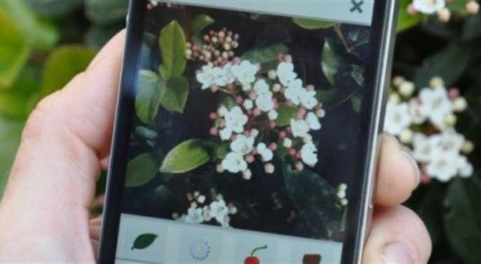 Un viburnum tinus, indique l'appli PlantNet, plus communément appelé laurier-tin.