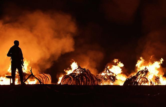 Dans le parc national de Nairobi, le 30 avril 2016, 105 tonnes de défenses d'éléphant ont été brûlées, soit la totalité du stock d'ivoire kényan.