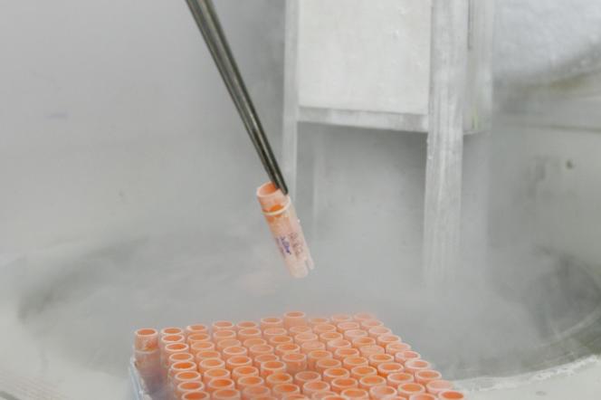 Manipulation de cellules souches embryonnaires au laboratoire de recherche sur le génome humain de l'université de Sao Paulo. (mars 2008).