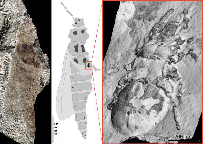 Insecte du Carbonifère (320 Ma) portant à l'insertion de ses ailes un acarien ; il s'agit de la plus ancienne association connue d'acarien avec son hôte.