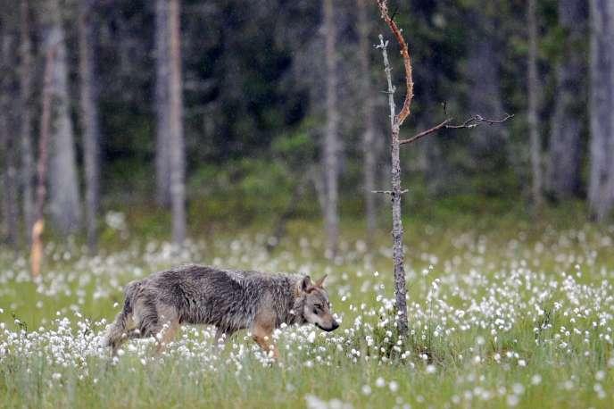 Un loup gris Canis lupus, près de la frontière russe à Kuhmo, en Finlande, en juin 2011.
