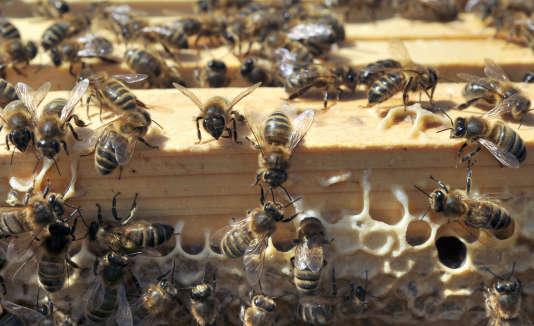 Des abeilles noires sur l'île d'Ouessant, en France.