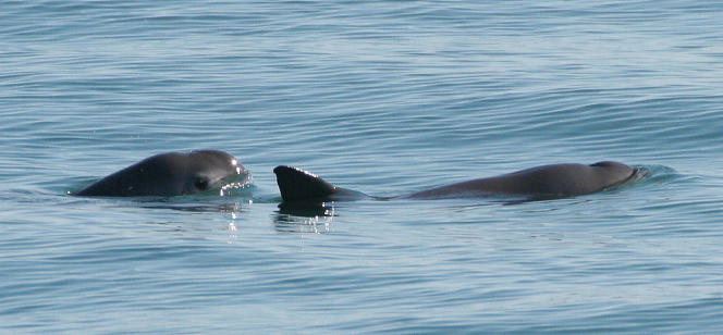 Le«vaquita marina» est victime des filets dérivants utilisés par des pêcheurs contrebandiers.