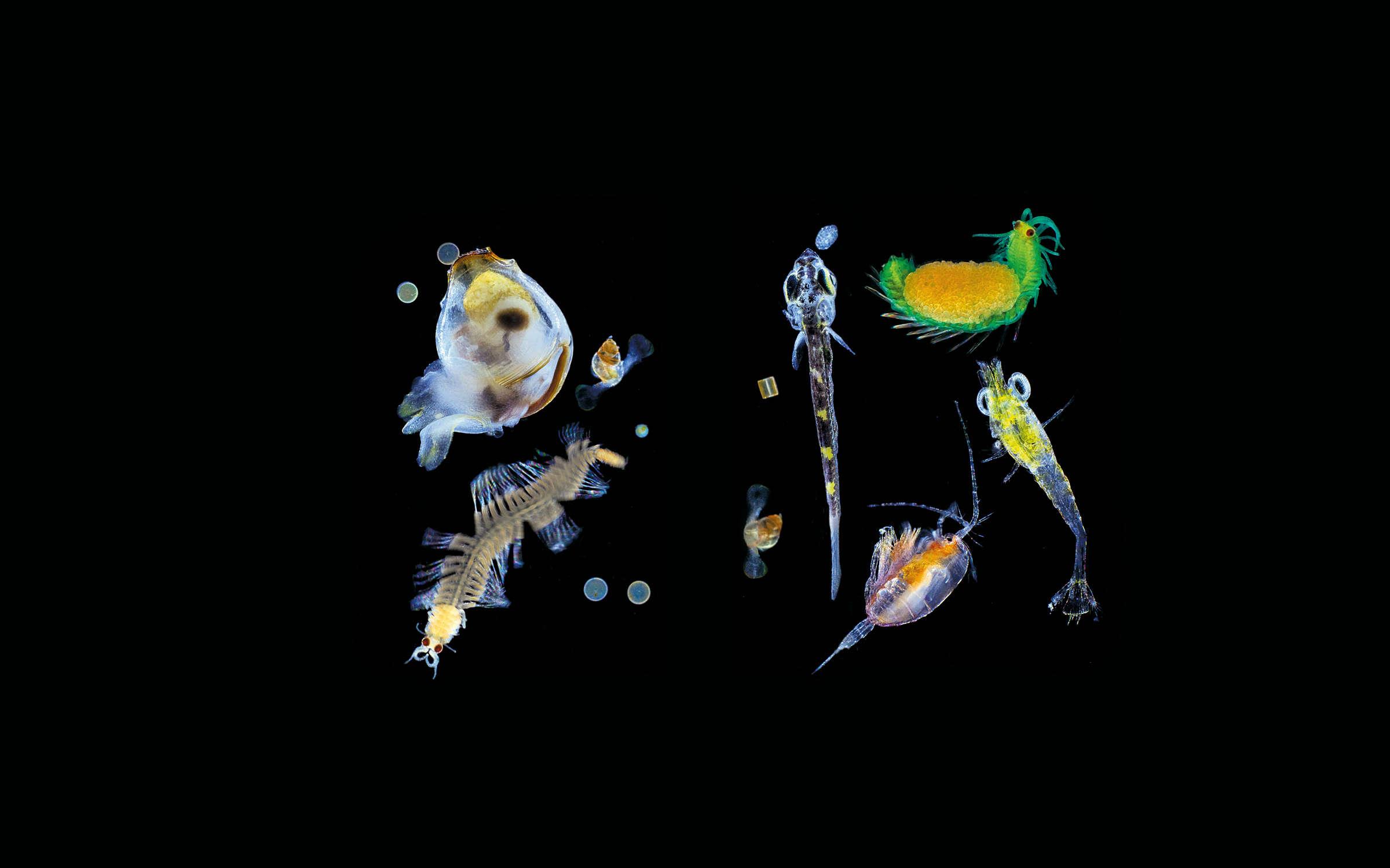 Mollusques, annélides, diatomées, larves de poisson et crustacés planctoniques, baie de Shimoda, Japon.