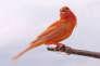 Un canari rouge, issu de l'union ancienne d'un canari commun et d'un chardonneret rouge.
