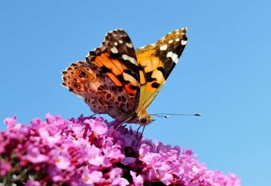 Papillon Belle Dame sur un buddleia dans le nord de la France.