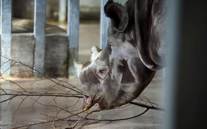 Un rhinocéros noir dans un zoo de Des Moines, aux Etats-Unis.