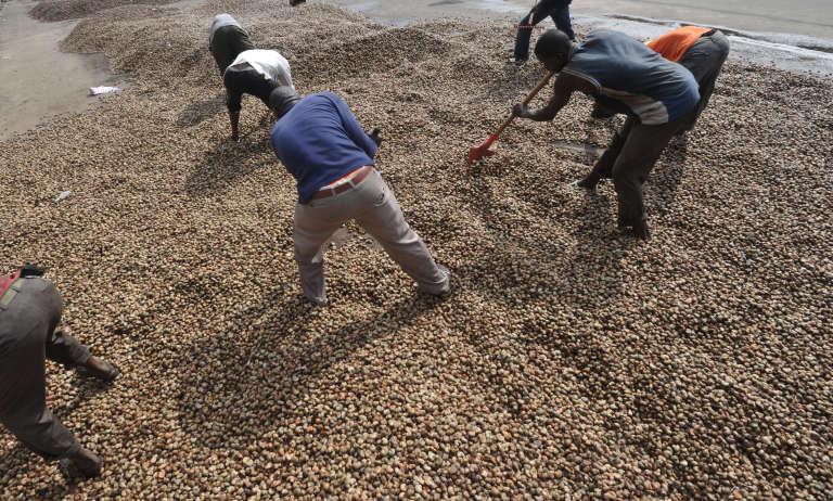 Récolte de noix de cajou à Abidjan en 2013.