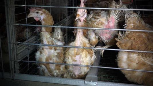 Des poules déplumées ou en mauvaise santé.