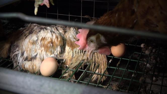 A l'intérieur de l'exploitation de poules pondeuses du GAEC du Perrat, dans l'Ain.
