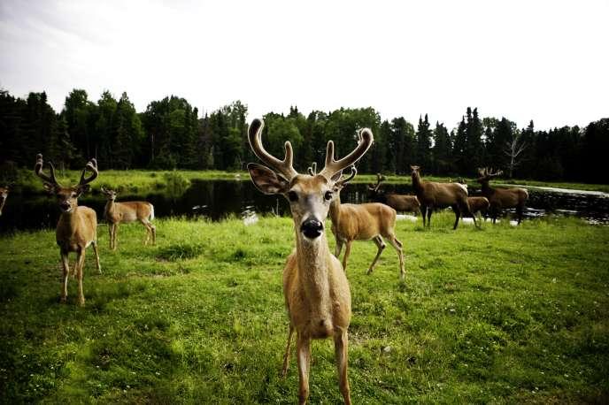 Des cerfs de Virginie auzoo deSaint-Félicien, Québec.