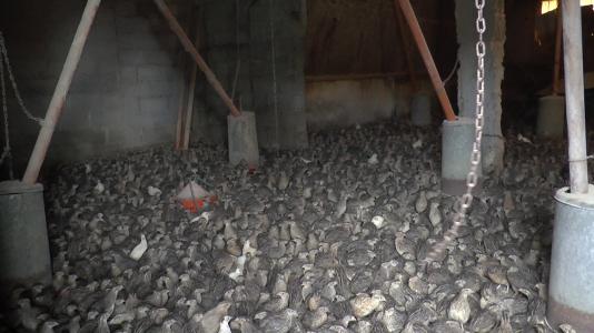 Un élevage de cailles de chair en Grèce.