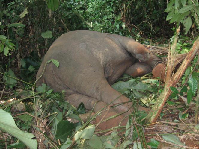 Cadavre d'éléphant en République démocratique du Congo.