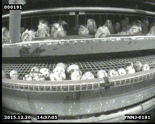Image d'un élevage de cailles pondeuses en France.